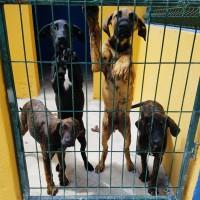 4 cachorros